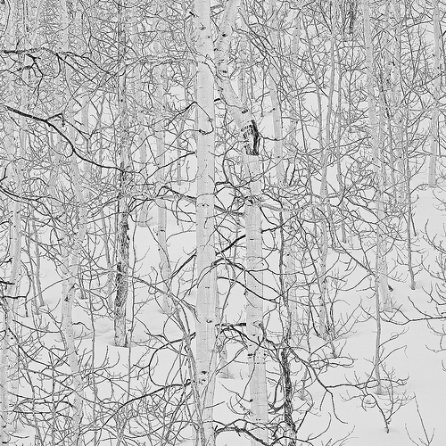 Quaking Aspen in Winter Snow