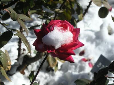Rosesnow 4