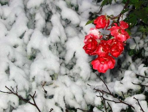 Snow-brave-red-roses 5