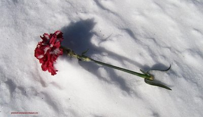Rose In Snow3